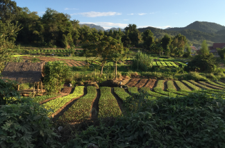 Vegetable farming outside Luang Prabang
